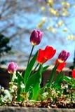 Tulipanes Imagen de archivo