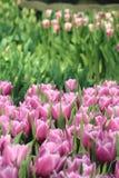 Tulipanes 9 Foto de archivo libre de regalías