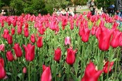 Tulipanes. Imagen de archivo libre de regalías