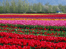 Tulipanes Imágenes de archivo libres de regalías