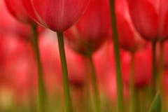 Tulipanes abstractos Fotografía de archivo libre de regalías
