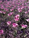 Tulipanes adentro Foto de archivo