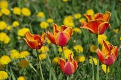 Tulipanes agradables de la primavera Imagenes de archivo