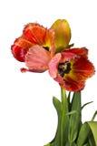 Tulipanes aislados Imagen de archivo