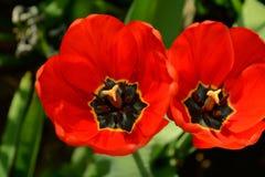 Tulipanes aislados Imágenes de archivo libres de regalías