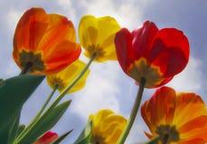 Tulipanes al cielo Fotos de archivo libres de regalías