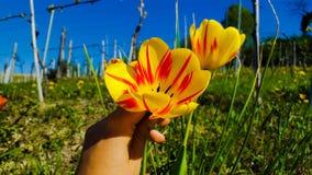 Tulipanes alrededor Imagen de archivo libre de regalías