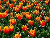 Tulipanes amarillo-rojos Fotos de archivo libres de regalías