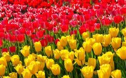 Tulipanes amarillo y rojo Fotos de archivo