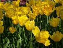 Tulipanes amarillos foto de archivo