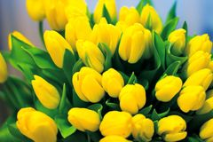 Tulipanes amarillos Fotografía de archivo