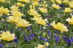Tulipanes amarillos Imagen de archivo