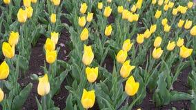 Tulipanes amarillos brillantes Foto de archivo