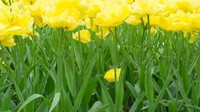 Tulipanes amarillos brillantes Fotos de archivo