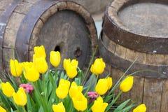 Tulipanes amarillos cerca de barriles de madera viejos Imagen de archivo