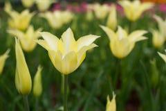 Tulipanes amarillos claros blandos en jardín Imagen de archivo
