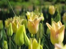 Tulipanes amarillos con la hierba de la cebolla fotografía de archivo