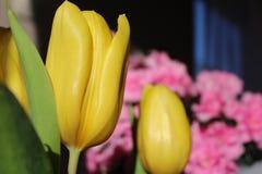 Tulipanes amarillos con la sol - flor maravillosa fotos de archivo