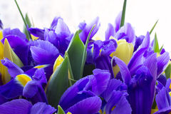 Tulipanes amarillos con los iris Imagen de archivo libre de regalías