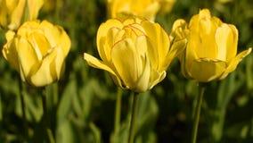 Tulipanes amarillos contra el cielo metrajes