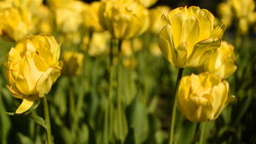 Tulipanes amarillos contra el cielo almacen de video