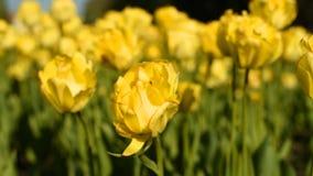 Tulipanes amarillos contra el cielo almacen de metraje de vídeo