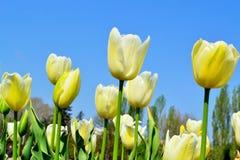 Tulipanes amarillos contra el cielo azul Imagen de archivo