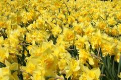 Tulipanes amarillos de Holanda Fotografía de archivo libre de regalías