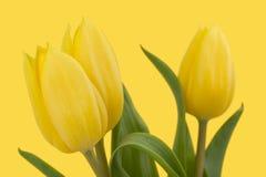 Tulipanes amarillos de la primavera Fotografía de archivo libre de regalías