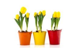 Tulipanes amarillos en crisoles coloridos Imágenes de archivo libres de regalías