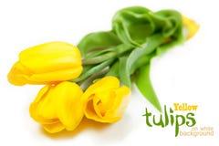 Tulipanes amarillos en el fondo blanco Fotografía de archivo libre de regalías