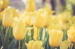 Tulipanes amarillos en el jard?n imagen de archivo libre de regalías