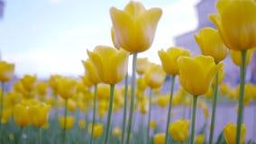 Tulipanes amarillos en el viento HD, 1920x1080 Cámara lenta metrajes