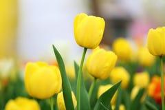 Tulipanes amarillos en primavera Fotos de archivo libres de regalías