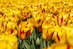Tulipanes amarillos en primavera imagen de archivo