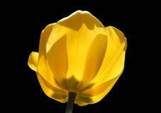 Tulipanes amarillos en un fondo oscuro aislado imagen de archivo libre de regalías