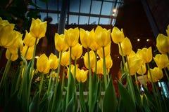 Tulipanes amarillos en un invernadero Foto de archivo