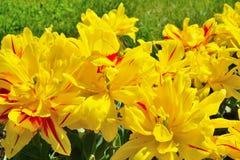 Tulipanes amarillos en un macizo de flores Foto de archivo