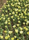Tulipanes amarillos florecientes Fotografía de archivo