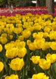 Tulipanes amarillos florecientes Imagen de archivo libre de regalías