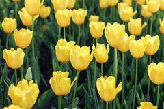 Tulipanes amarillos Flores en a imagen de archivo