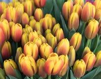 Tulipanes amarillos hermosos con tonalidad roja foto de archivo