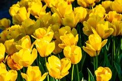 Tulipanes amarillos hermosos en tiempo soleado en Holanda imagen de archivo