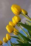 Tulipanes amarillos, opinión del Insecto-ojo Imágenes de archivo libres de regalías