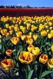 Tulipanes amarillos rojos foto de archivo libre de regalías