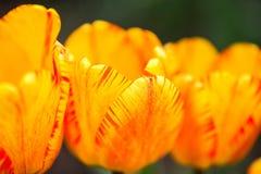 Tulipanes amarillos rojos de las flores hermosas Cierre para arriba Fotos de archivo libres de regalías