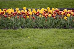 Tulipanes amarillos rojos en campo de hierba Fotos de archivo libres de regalías