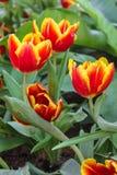 Tulipanes amarillos rojos hermosos en el festival de la flor en el parque Fotos de archivo libres de regalías