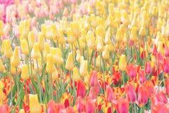 Tulipanes amarillos, rojos y rosados en un fondo del parque Imagen entonada, Imagen de archivo libre de regalías