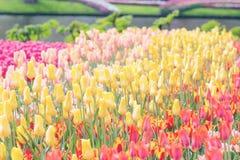 Tulipanes amarillos, rojos y rosados en un fondo del parque Imagen entonada, Fotos de archivo